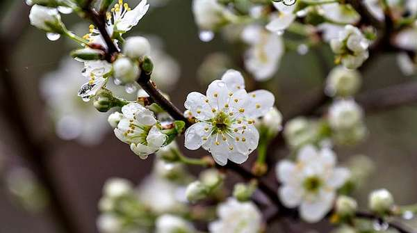 Цветы терна