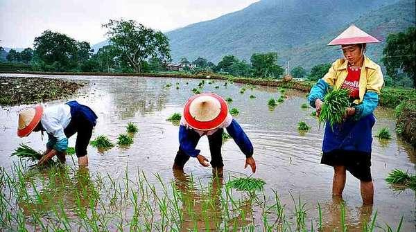 Выращивание риса в Китае
