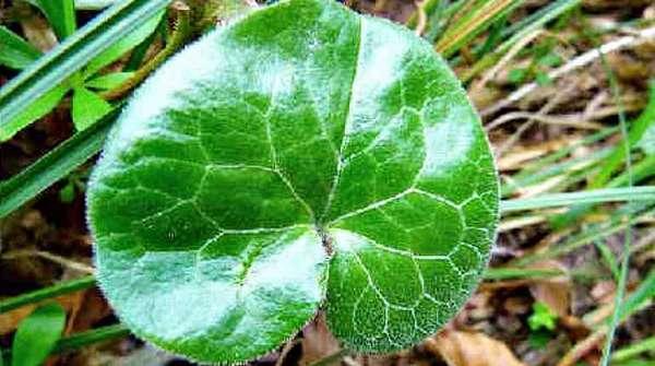 Лист белокопытняка