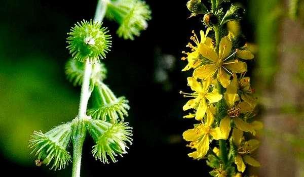 Репешок волосистый (Agrimonia pilosa)