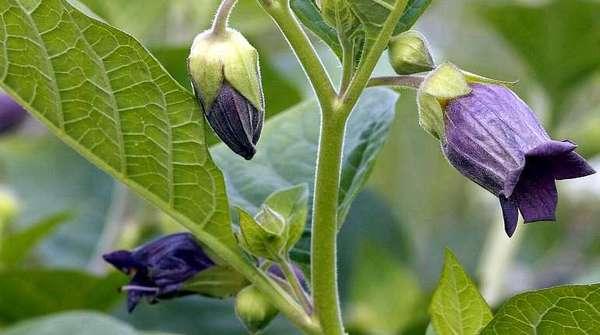 Растение красавка