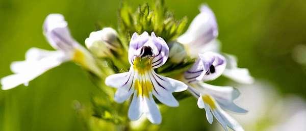 Цветы очанки
