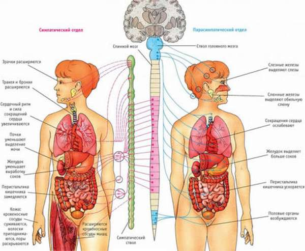 Этиология и прогноз вегетативно-сосудистой дистонии. Описание главных признаков и методов диагностики