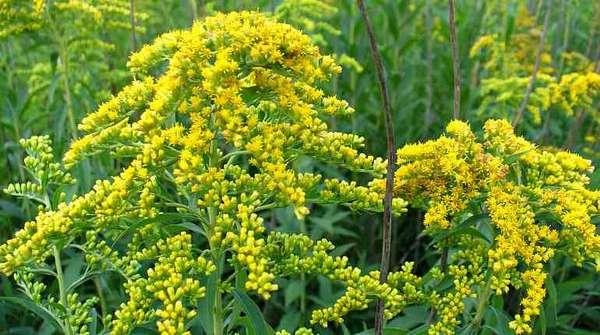 Лекарственное растение золотое перо