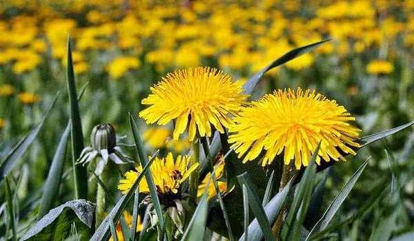 Цветы одуванчика полезные свойства, противопоказания