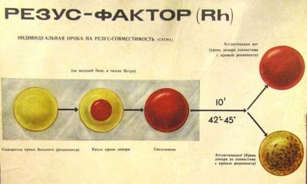 В чем заключаются отличия групп крови у людей, понятие группы крови и резус фактора