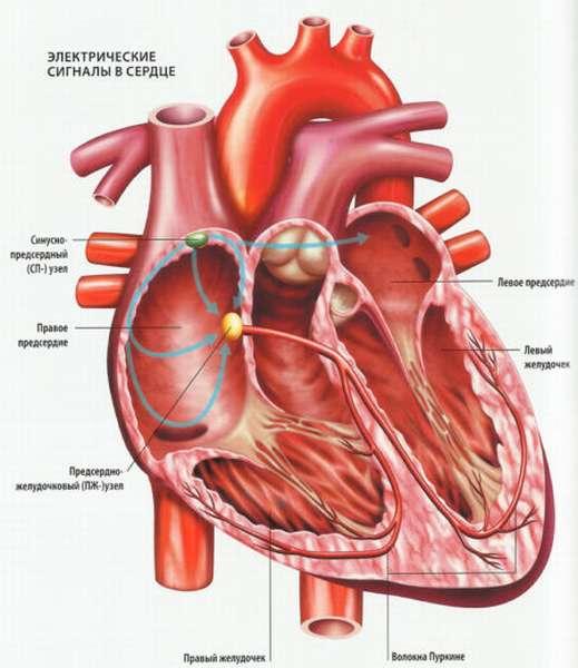 Физиология водителя сердечного ритма у человека в норме и при патологии