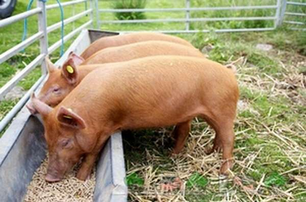 Нормы потребления соли свиньями