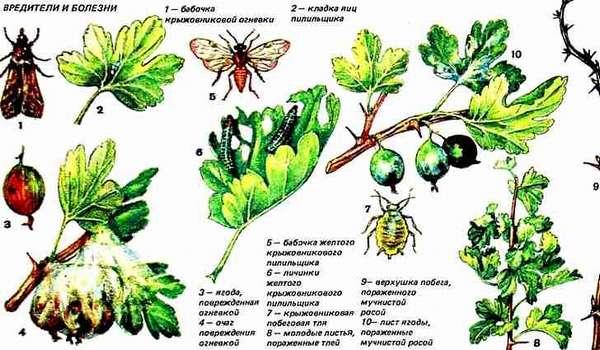 Вредители и болезни черной смородины, обработка