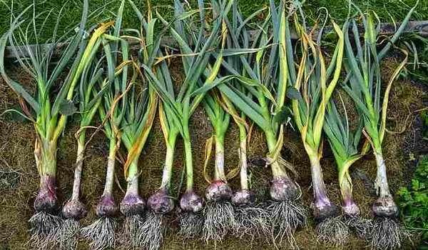 Ботаническое описание посевного чеснока
