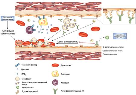 Почему в человеческом организме происходит образование антител к фосфолипидам?