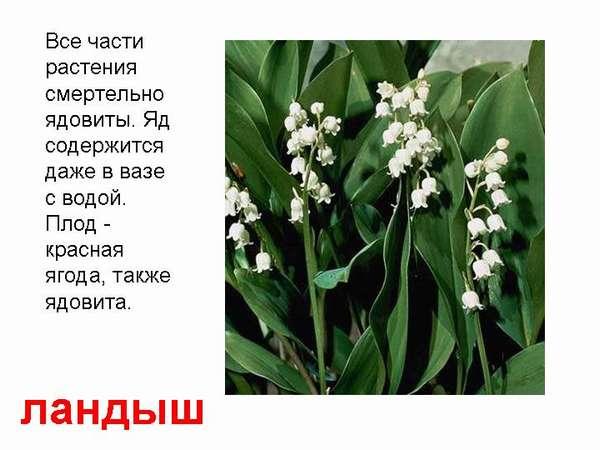 Опасное растение майский ландыш