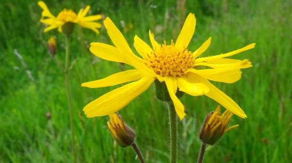 Цветок арники