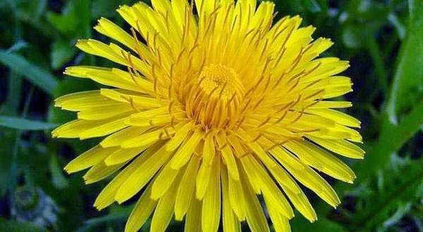 Чем полезны цветы одуванчика