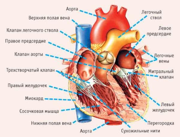 Требуется ли лечение дополнительной трабекулы левого желудочка, или аномалия неопасна?