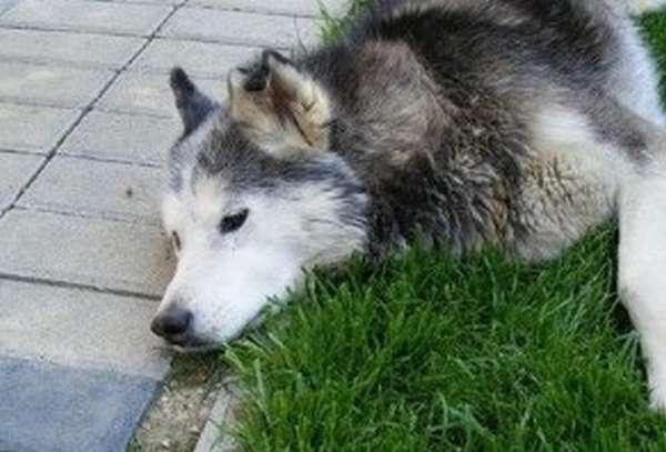 Признаки отравления собаки изониазидом