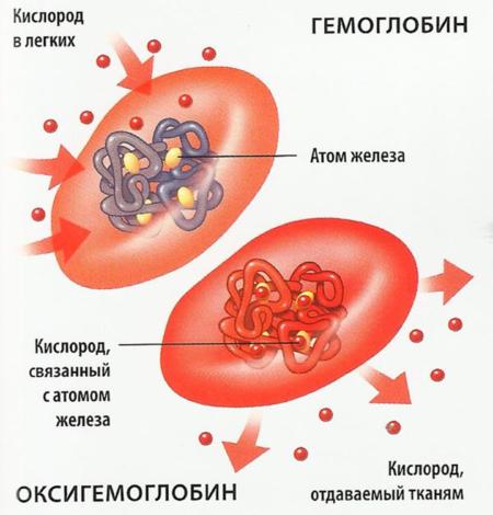 Уровень гемоглобина в крови взрослых и детей: за что отвечает и каковы нормы показателя?