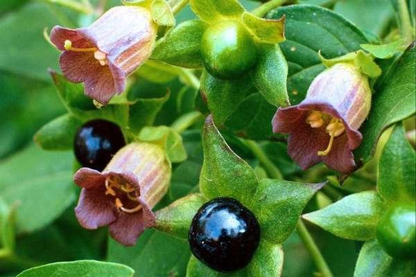 Как выглядит растение белладонна