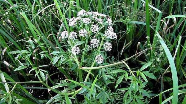 Ядовитое растение цикута