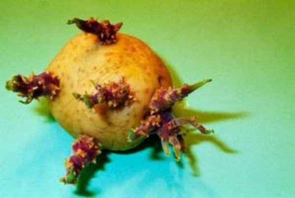 Пророщенный картофель, который нельзя употреблять