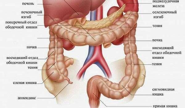 Анатомия и физиология червеобразного отростка