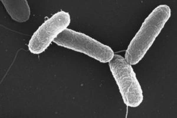 Сальмонеллёз общий вид бактерии