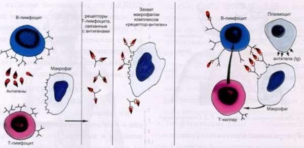 Роль плазматических клеток в крови и причины повышения их количества
