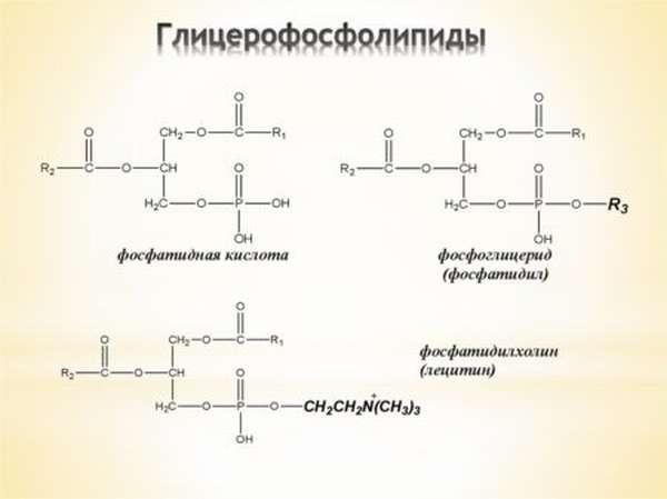 Роль фосфолипидов для организма человека, что это такое, каковы их нормы?