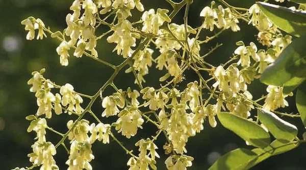 Цветки софоры