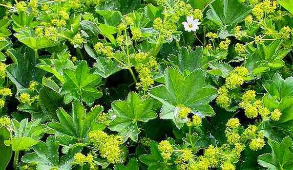 Манжетка обыкновенная, фото. Ботаническое описание растения