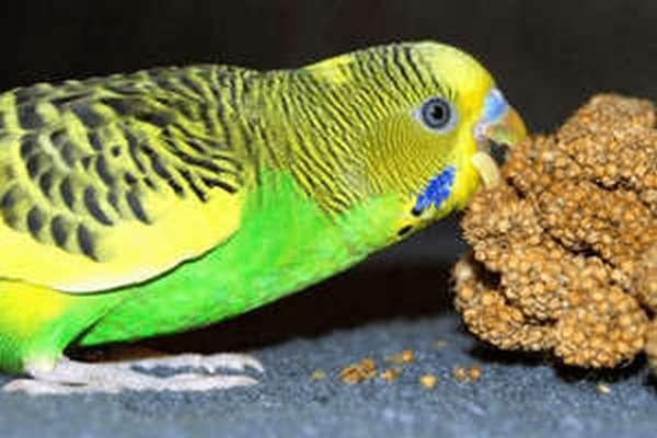 Отравление попугая может вызвать смена корма