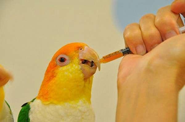 Первая помощь при отравлении попугая