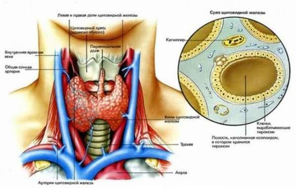 Нормы и отклонения ТТГ после удаления щитовидной железы