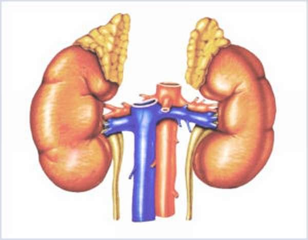 Работа почек при повышенном содержании мочевой кислоты в организме