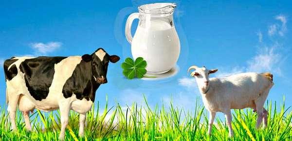 Молоко козы и коровы