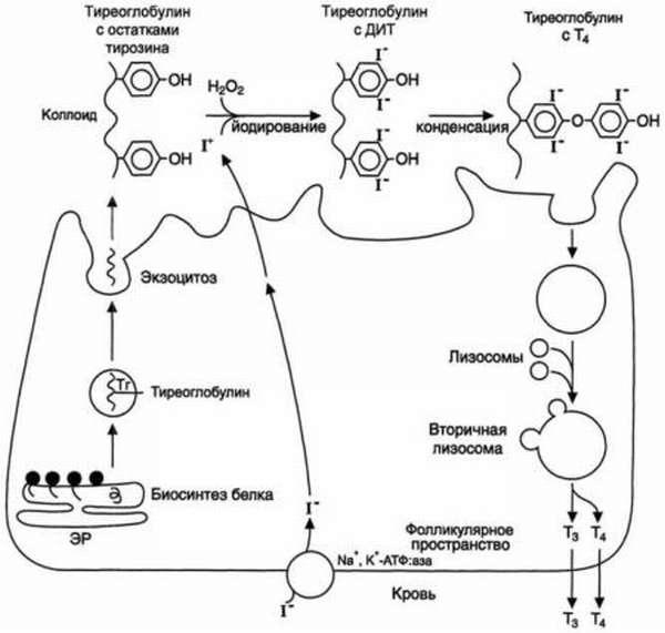 Что означает высокий уровень антител к тиреоглобулину и зачем его проверяют?