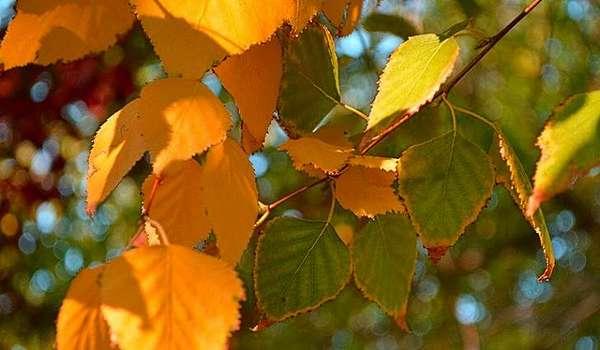 Листья березы от камней в почках