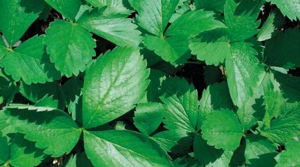 Лечебные характеристики листьев земляники