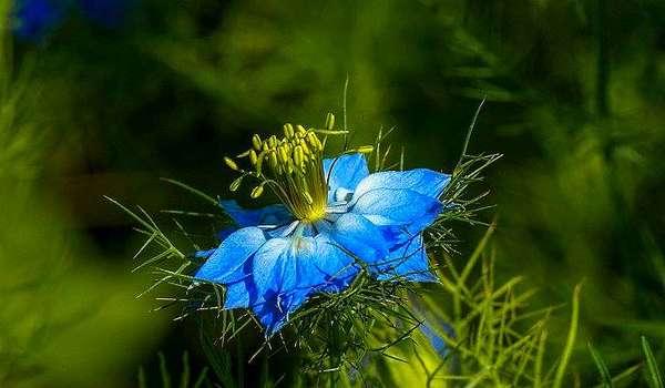 Чернушка посевная: цветок или лекарственное растение?