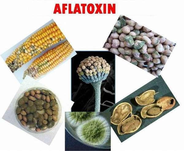 Отравление афлатоксинами: признаки и последствия