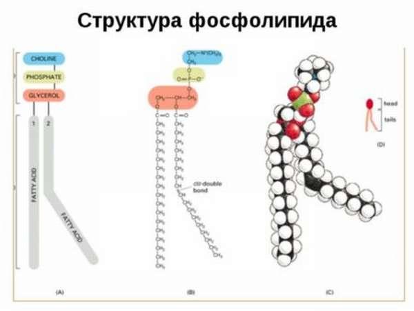 Количество фосфолипидов в продуктах питания, в чем их важность и польза?