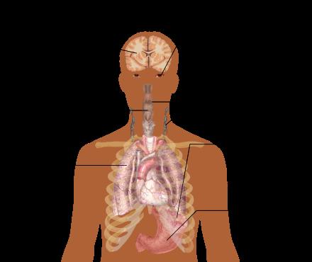 Характеристика широкоплазменных лимфоцитов и их роль в диагностике болезней
