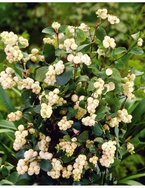 снежная ягода кустарник лечебные свойства