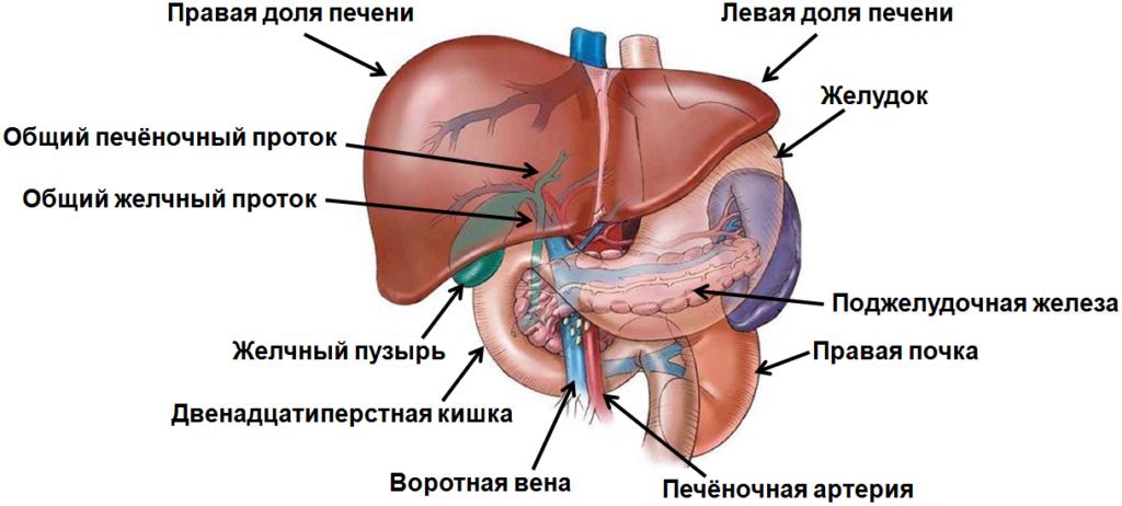 Профилактика токсического гепатита