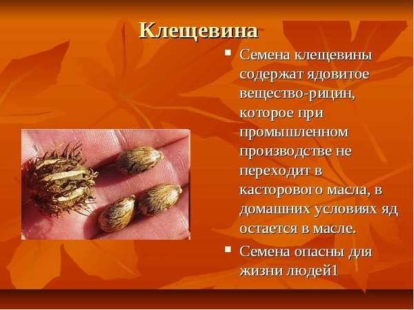 Клещевина: польза и вред, симптомы отравления, помощь, лечение