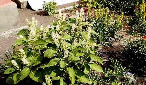 Лаконос костянковый (синоним — лаконос виноградный) - Phytolacca acinosa Roxb