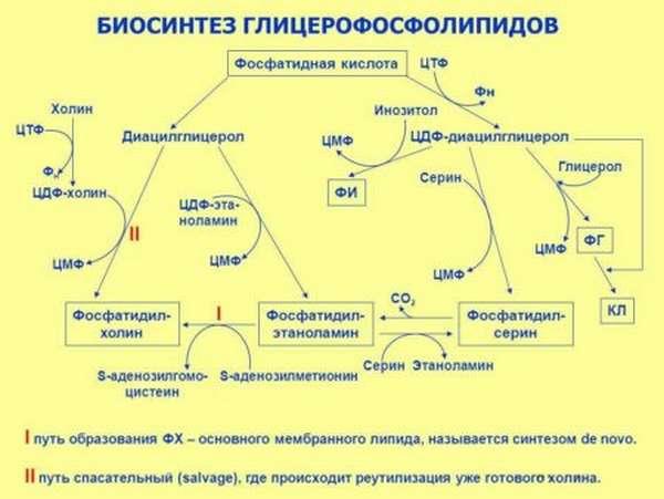 Понятие и структура глицерофослипидов, их предназначение в теле человека