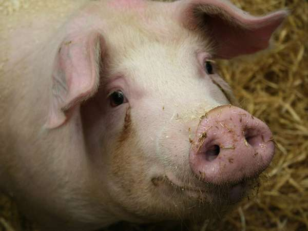 Отравление свиней поваренной солью