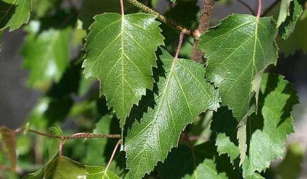 Березовые листья для компресса на больные суставы