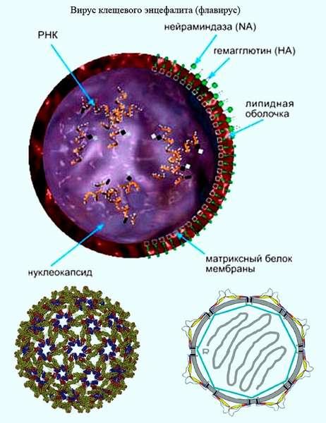 Клещевой энцефалит: симптомы, первые признаки, причины, лечение, профилактика